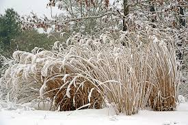 when should i cut ornamental grasses hyannis country garden