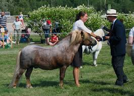 Are Horses Color Blind Shetland Pony Wikipedia