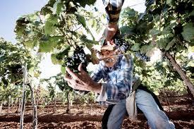 a grape grows in sonoita u2014 edible baja arizona magazine