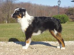 7 month old australian shepherd puppy australian shepherd coat u0026 ears questions