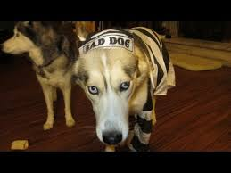 Husky Dog Halloween Costumes Dog Freezes Halloween Costume Funny Siberian Husky