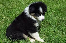 australian shepherd white 71 most cute australian shepherd puppies pictures and photos