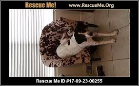 7 month old bluetick coonhound arizona bluetick coonhound rescue u2015 adoptions u2015 rescueme org