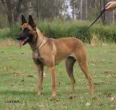 belgian shepherd nz malinworx belgian shepherd malinois breeding serious dogs for