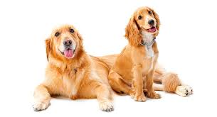 Comfort Retrievers A Complete Guide To Miniature Golden Retrievers By The Happy Puppy