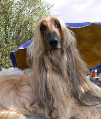 afghan hound hairstyles 10 cool facts about afghan hounds afghan hound