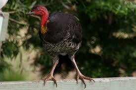 australian native plants pictures and names australian brush turkey birds in backyards