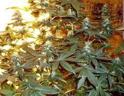 400 Watt Hps Grow Light Will A 150watt Hps Light Grow Anything Grasscity Forums