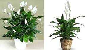 Design For Indoor Flowering Plants Ideas Idea Indoor Plants That Do Not Need Sunlight And Design And The