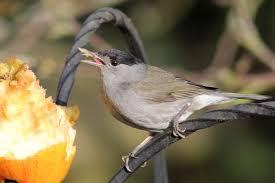 british garden birds photos and videos