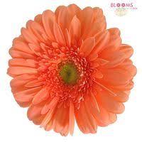 gerbera colors buy wholesale gerbera blooms by the box