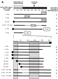 Dna Mapping Mapping And Use Of A Sequence That Targets Dna Ligase I To Sites