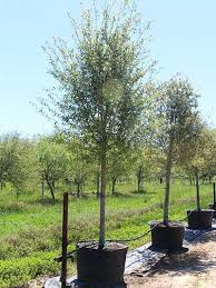 large live oak trees for sale independent tree services inc