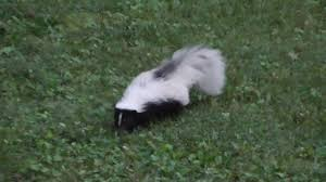 How To Get Rid Of A Skunk In Your Backyard Skunk In Backyard Have You Seen A Skunk In Your Backyard How To