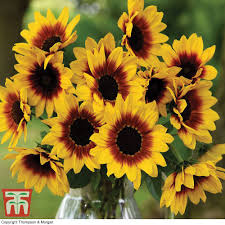 sunflower pictures sunflower sunbelievable brown eyed girl thompson
