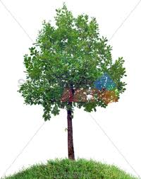 stock photo of small oak tree on grassy hill against transparent