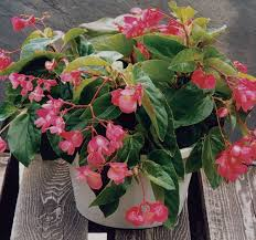 Heat Tolerant Plants Dragon Wing Pink Begonia Plants Container Gardening And Gardens