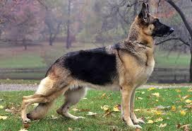 australian shepherd top speed top 10 best dog breeds for runners pets world