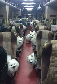 american eskimo dog for sale in south africa i u0027ve found the bus to heaven djur pinterest heavens album