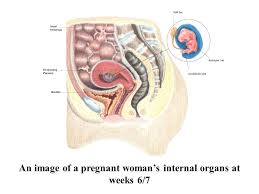 Pregnant Female Anatomy Diagram Anatomy And Physiology Of Pregnancy Ppt Download