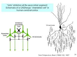 chandelier cells 1 bi cns 150 lecture 10 synaptic inhibition cable properties of