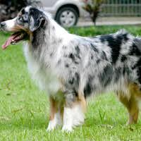 australian shepherd x pitbull dog breeds from a z including purebeed and hybrid dog breeds