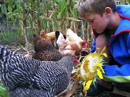 Backyard Chicken Magazine by Backyard Chickens Valley Parent Magazine