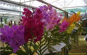 vanda orchids green vanda orchid flower fruit plant tree pictures