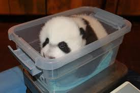 national zoo u0027s adorable newborn giant panda is named bei bei