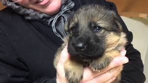 puppies for sale pa german shepherd puppies for sale in pa