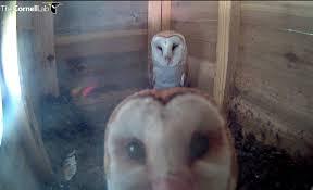 Barn Owl Sounds Texas Barn Owls 2017 Update All About Birds