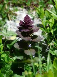 free images leaf purple pyramid botany flora wildflower