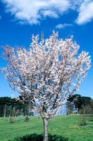 prunus pandora cherry pandora rhs gardening