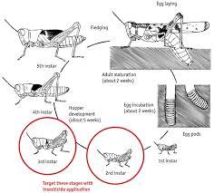 fact sheet identification and biology plague locusts pest
