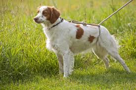 Do Brittany Spaniels Shed by Types Of Hunting Dogs
