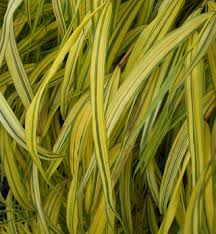 ornamental grasses information photos of ornamental grass