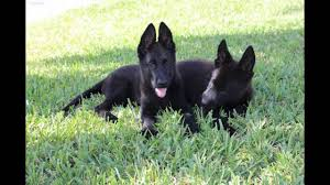belgian sheepdog groenendael rescue 100 ddr puppies for sale phone 305 2443069 youtube