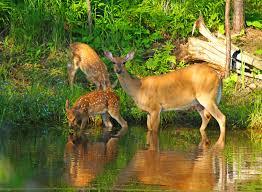 paulsundbergphotography photo keywords deer family