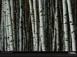 birch wallpaper 1024x768 5677