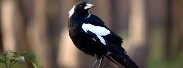 u0026 white birds