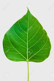 pipal leaf on white background stock photo picture and royalty