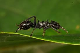 lofty experiments with gliding ants reveals secrets of their
