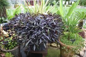 sweet potato vines what grows there hugh conlon