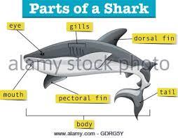 diagram showing parts of shark illustration stock vector art
