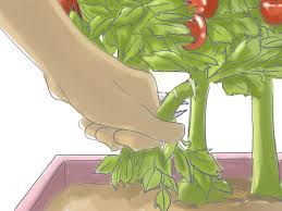 Bonnie Plants Patio Tomato How To Prune Patio Tomatoes 10 Steps With Pictures Wikihow