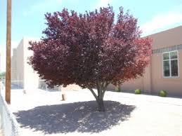 ornamental flowering trees trees that pleasetrees that