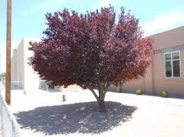 purple leaf plum trees that pleasetrees that