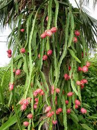 hylocereus undatus u2013 night blooming cereus dragon fruit see