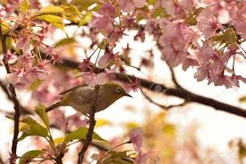 background japanese white eye bird on pink cherry blossom