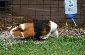 what can guinea pigs eat what can u0027t guinea pigs eat